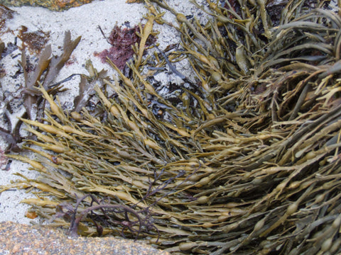 Irish seaweeds present in many different forms through the year