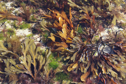 A wide variety of seaweeds grow off the Irish coast