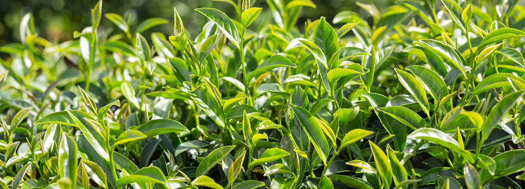 Benefits of Tea Tree
