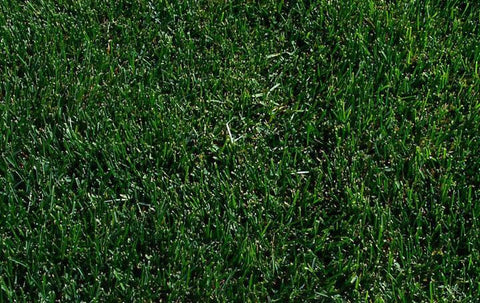 Midnight Star Kentucky Bluegrass Seed