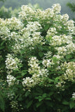 Hydrangea, Quick Fire Tree - Ship to Store - Pickup In Store Only