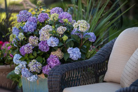 Hydrangea Bloomstruck - Ship to Store - Pickup In Store Only