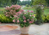 Hydrangea, Little Quick Fire - Ship to Store - Pickup In Store Only