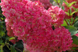 Hydrangea, Vanilla Strawberry Tree - Ship to Store - Pickup In Store Only