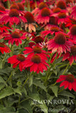 Coneflower, Salsa Red - Ship to Store - Pickup In Store Only