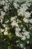 Clematis, Sweet Autumn - Ship to Store - Pickup In Store Only