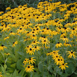 Black Eyed Susan, Goldstrum- Pickup In Store OR Ship To Home