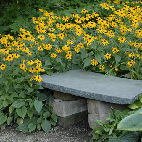 Black Eyed Susan, Goldstrum - Ship to Store - Pickup In Store Only