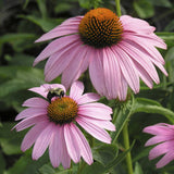 Coneflower, Purple Magnus - Ship to Store - Pickup In Store Only