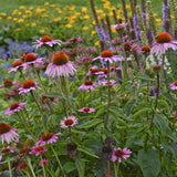 Coneflower, Purple Magnus - Pickup In Store OR Ship To Home