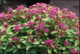 Spirea, Magic Carpet - Ship to Store - Pickup In Store Only