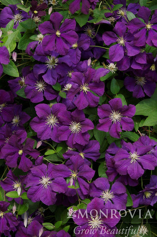 Clematis, Jackmani - Ship to Store - Pickup In Store Only