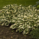 Hosta, Patriot - Ship to Store - Pickup In Store Only