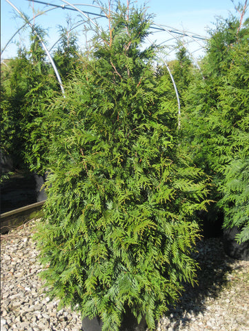 Arborvitae, Green Giant - Ship to Store - Pickup In Store Only