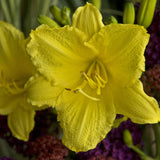 Daylily, Happy Returns - Ship to Store - Pickup In Store Only