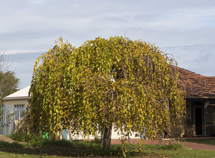 Mulberry, Fruitless Weeping Tree - Ship to Store - Pickup In Store Only