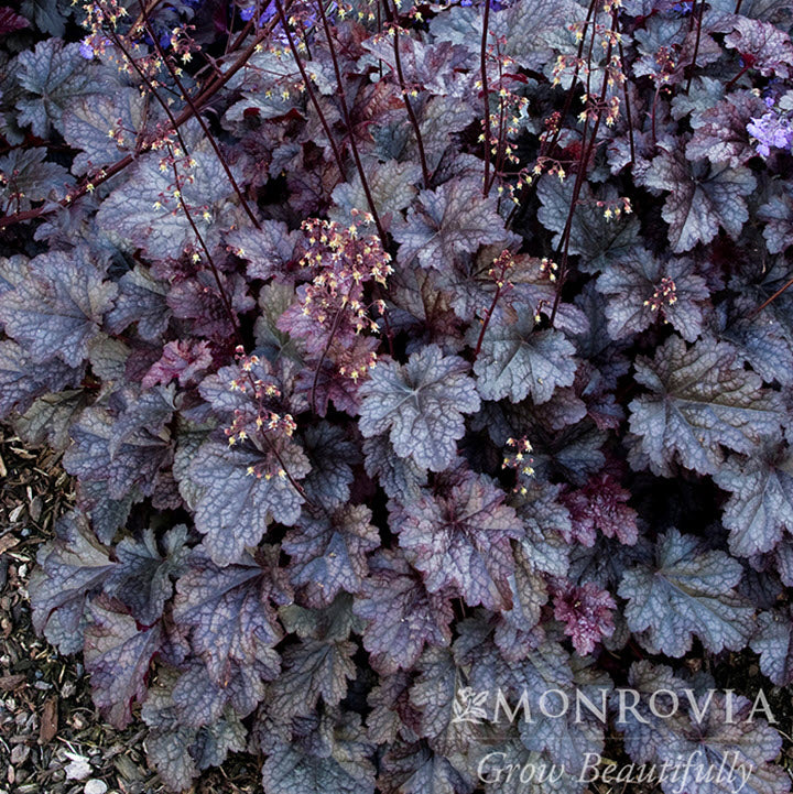 Coral Bells, Plum Pudding - Ship to Store - Pickup In Store Only