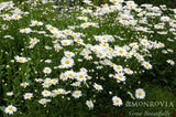 Shasta Daisy, Becky - Pickup In Store OR Ship To Home