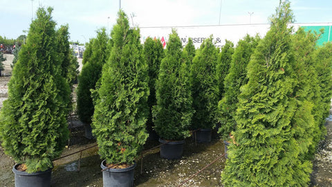 Arborvitae, Emerald Green -  Ship to Store - Pickup In Store Only