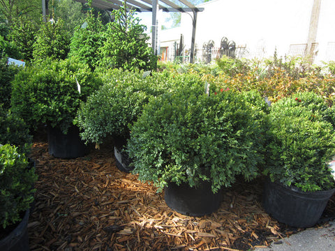18in Boxwood, Green Velvet - Ship to Store - Pickup In Store Only