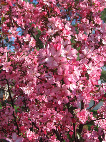 Crabapple, Royal Raindrops® - Ship to Store - Pickup In Store Only