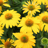 Coneflower Sombrero Lemon Yellow