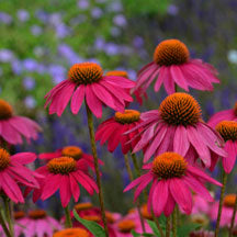 Coneflower Pow Wow Wild Berry