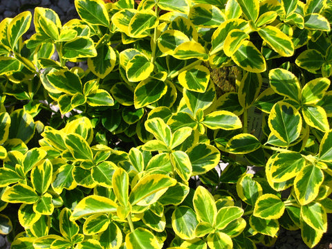 Euonymus, Gold Splash® - Ship to Store - Pickup In Store Only