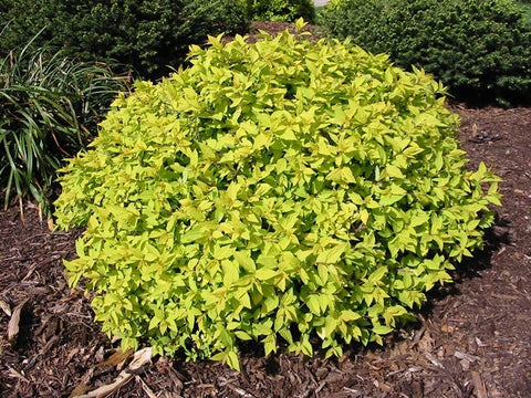 Spirea, Goldmound - Ship to Store - Pickup In Store Only