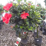 Hibiscus Patio Tree