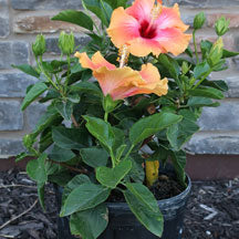 Tropical Hibiscus Fiesta Bush