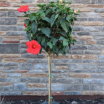 Hibiscus Patio Tree with Red Blooms