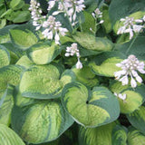 Hosta, Paradigm - Pickup In Store OR Ship To Home
