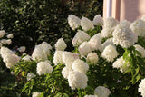 Hydrangea Bobo® - Ship to Store - Pickup In Store Only