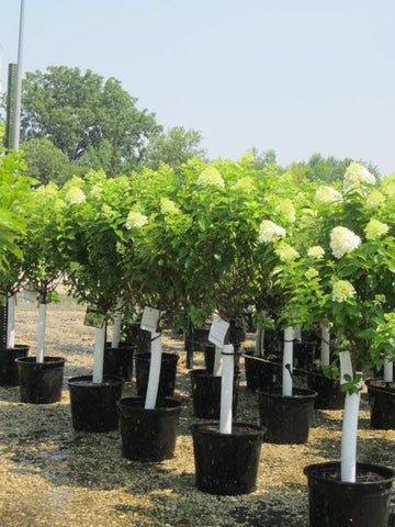 Hydrangea, Limelight Patio Standard - Ship to Store - Pickup In Store Only