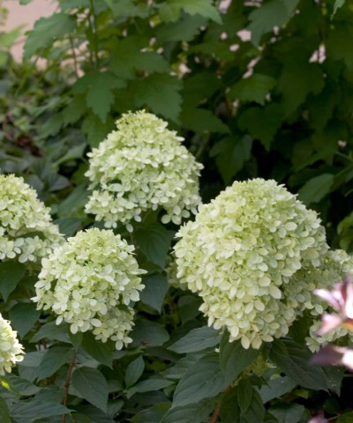 Hydrangea, Little Lime® - Ship to Store - Pickup In Store Only