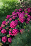 Hydrangea, Summer Crush - Ship to Store - Pickup In Store Only