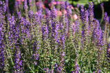 Salvia, May Night - Pickup In Store OR Ship To Home