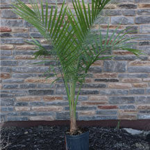 Majesty Palm in ten inch pot