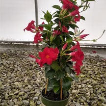 Red Mandevilla with Trellis