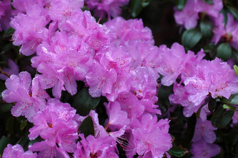 Rhododendron, PJM Elite - Ship to Store - Pickup In Store Only