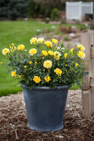 Rose, Yellow Brick Road Easy Elegance® - Ship to Store - Pickup In Store Only