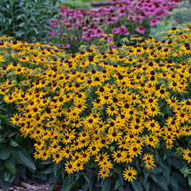 Black-Eyed Susan Little Goldstar