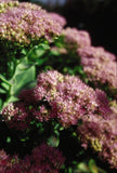 Sedum, Autumn Fire - Pickup In Store OR Ship To Home