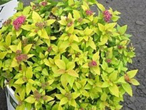Spirea, Double Play® Big Bang™ - Ship to Store - Pickup In Store Only