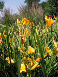 Daylily, Stella D'Oro - Pickup In Store OR Ship To Home