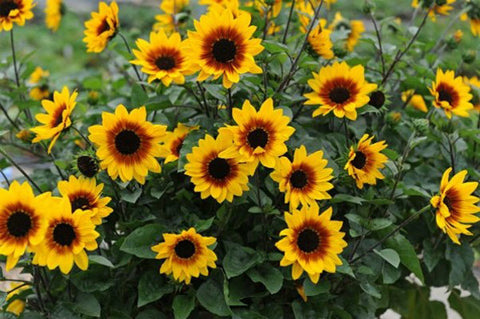 Sunflower, Sunbelievable - Ship To Store - Pickup In Store Only