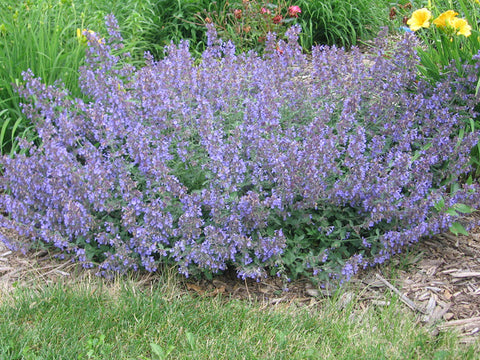 Catmint, Walker's Low - Ship to Store - Pickup In Store Only