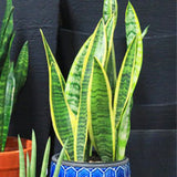 Snake Plant, Mother-in-Laws Tongue - Ship To Store - Pickup In Store Only