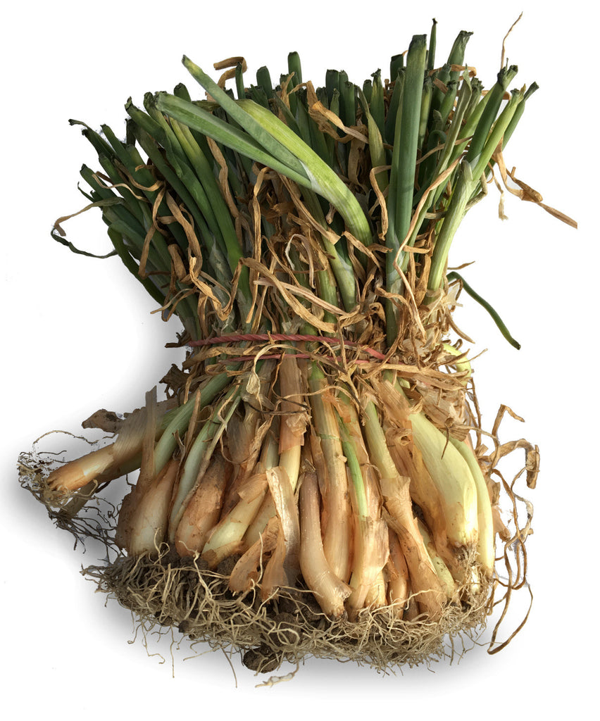 Onion Plants - Yellow Sweet Spanish
